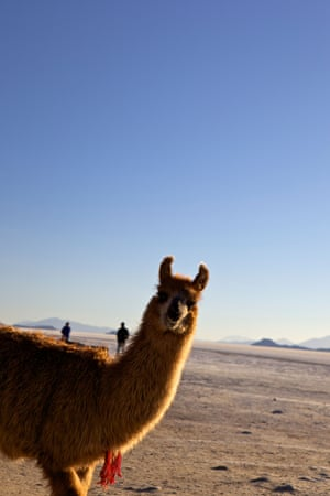 An alpaca – a close relative of the llama – on the salt flats of the Salar de Uyuni