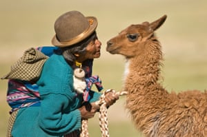 A Bolivian woman domesticating a young llama in San Juan, Potosi