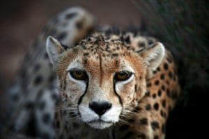 Koushki, a 7-year-old male Asiatic Cheetah, crouches at the Miandasht Wildlife Refuge in Jajarm, northeastern Iran. The Asiatic Cheetah has disappeared across south and central asia except fewer than 100 remaining in Iran.
