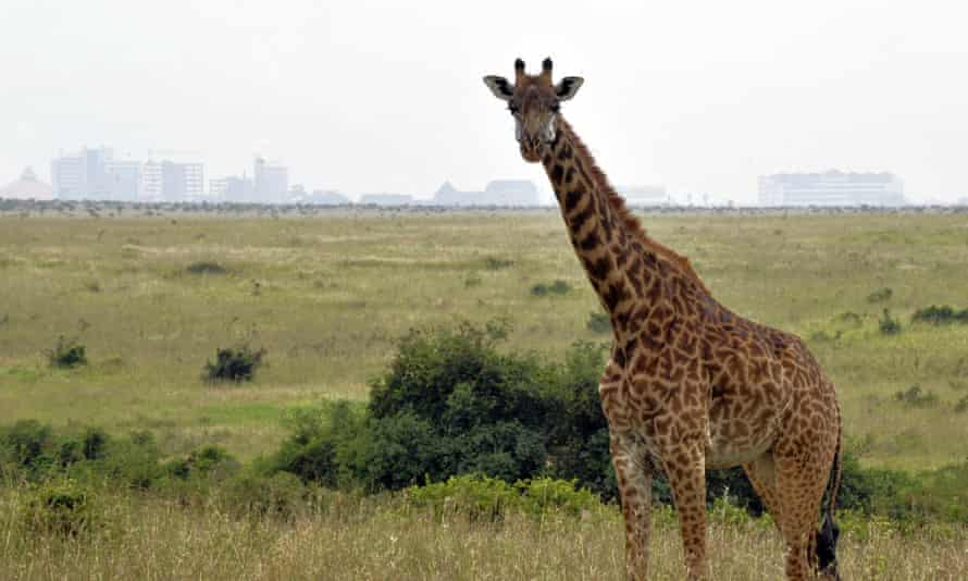 A giraffe in the oldest national park in east Africa, which is unique because it is next to a major city, but threatened by its expansion.