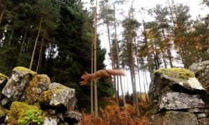 A red squirrel jumping from rock to rock in the Kielder Forest in Northumberland