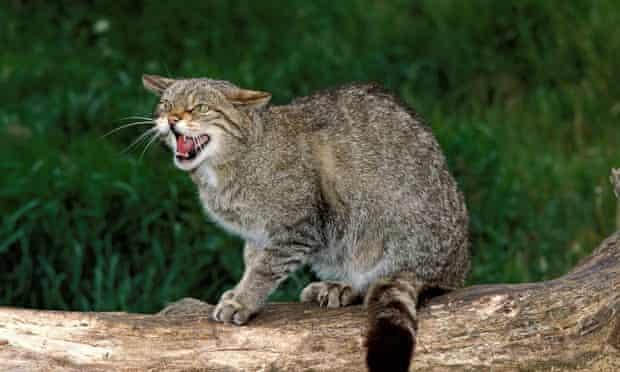 Scottish Wildcat Felis sylvestris grampian United Kingdom