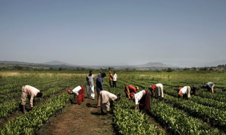 Farm workers tend young plants at the palm oil plantation owned by Karuturi Global Ltd, near the town of Bako, in Ethiopia.