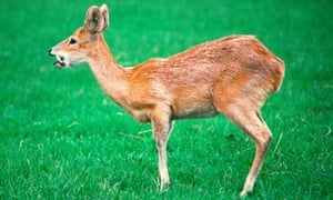 A Chinese water deer (Hydropotes inermis) with long canine teeth.