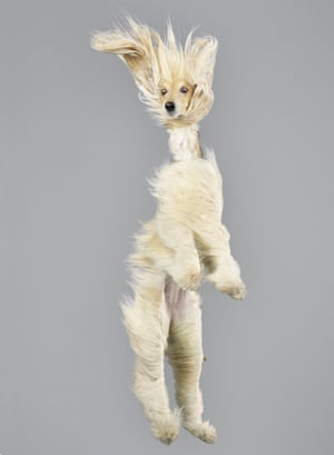 An Afghan hound shows off its best pose,