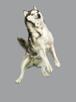 An adorable husky shows off its best side