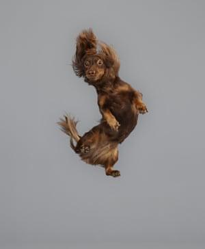 Dachshund flies through the air,