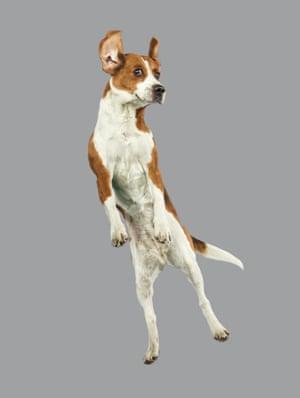 Airborne beagle strikes its best pose
