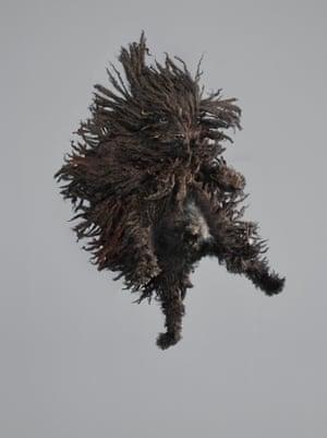 A puli flies through the air