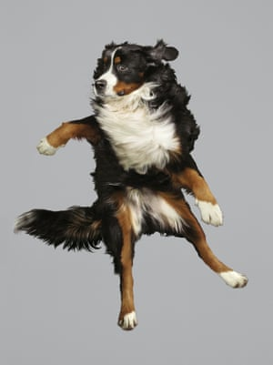 A Bernese Mountain Dog shows off its best side,