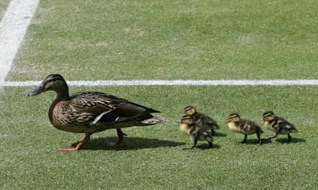 ducks row