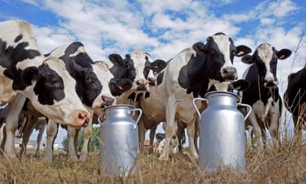 Prim'Holstein cows standing by milk churns in the field of a dairy farm in Sainte-Colombe-en-Bruilhois, southwestern France.