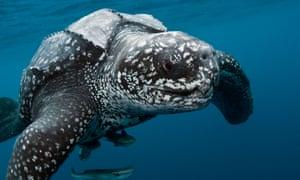 Male Leatherback Sea Turtle