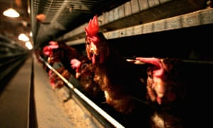 Battery hens in Suffolk. Germany, the Netherlands and the UK have recently found the H5N8 avian flu