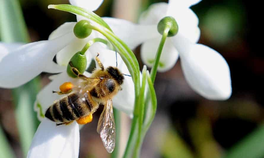 Honey bee colonies will decline as a gut parasites flourishes under global warming, research suggests.