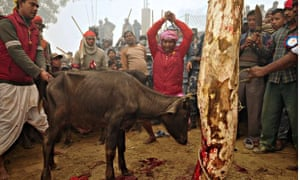 November 2009, Bariyapur: a Nepalese Hindu devotee slaughters a buffalo as an offering to the goddes