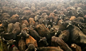 Buffaloes in a holding pit before being slaughtered in the 2009 sacrifice.