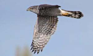 A goshawk in flight