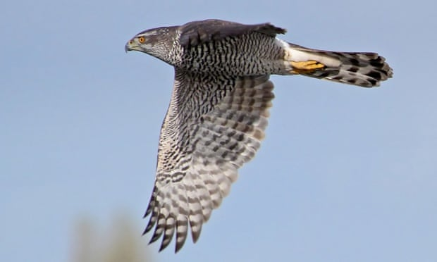 A goshawk in flight