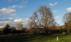 The veteran tree is over 300 years old and also has the largest girth in the country, measuring just over 24 feet and has been given the accolade of Champion Tree by the National Tree Register.