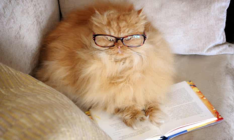 Persian cat reading a book.