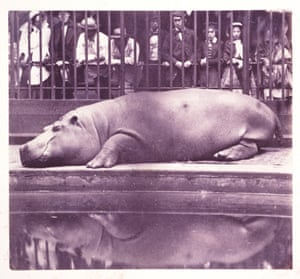 The Hippopotamus at the Zoological Gardens, 1852.
