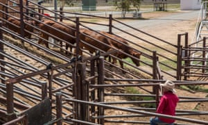 cattle farming Northern Territory