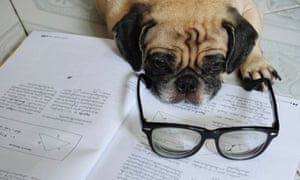 Pug wearing glasses looking tired on worksheets.