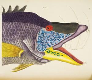 opulent oceans hogfish