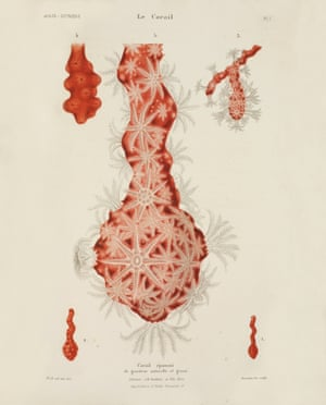 opulent oceans red coral