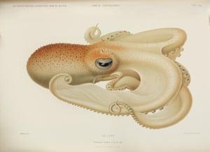opulent oceans velodona octopus