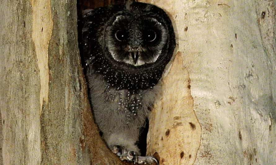 Sooty owl chick