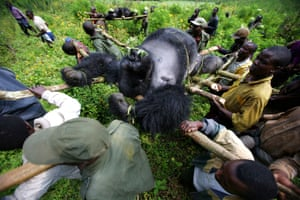 Rangers from an anti-poaching unit work with locals to evacuate the bodies of four Mountain Gorillas killed in mysterious circumstances in Virunga National Park in 2007.