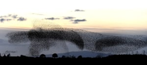 Murmuration of starlings in Gretna Green
