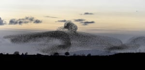 Tens of thousands of starlings start their murmuration as dusk falls near Gretna Green on the English-Scottish border. Theories as to why the birds form such patterns range from a defence mechanism against predators to attracting more birds to join their roost