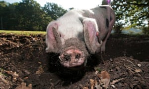A pig forages for acorns in the New Forest