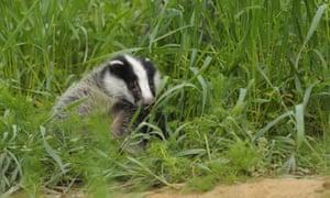 European badger, Meles meles,