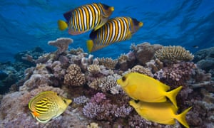 Two regal angelfish (Pygoplites diacanthus), two coral rabbitfish (Siganus corallinus), and a dot & dash butterflyfish (Chaetodon pelewensis) swimming over coral in the Great Barrier Reef.