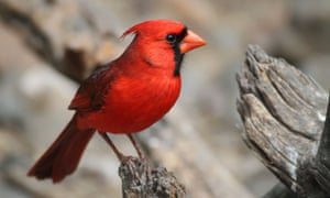 miracle worker a red cardinal - A Redbird Christmas