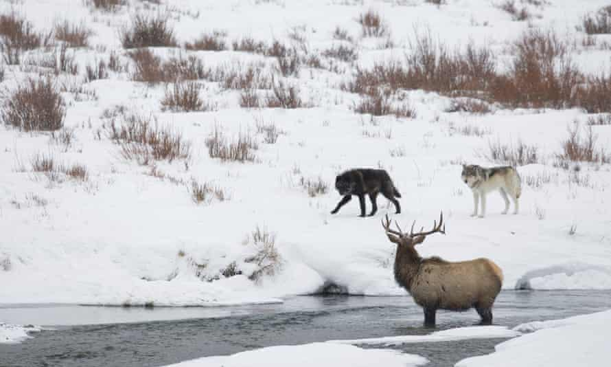 Wolves in Yellowstone national park