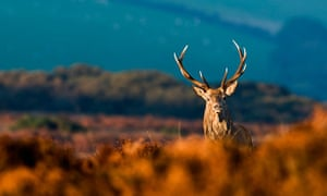 A red deer stag on Exmoor, North Devon.