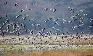 Migrating pink-footed geese pictured at Holkham on the north Norfolk coast.