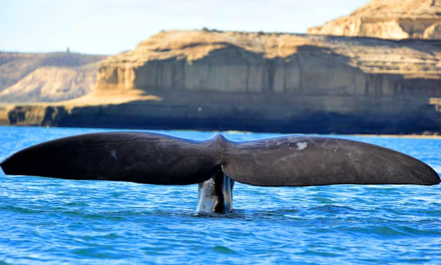 A southern right whale off the Valdes peninsula, Patagonia, Argentina.