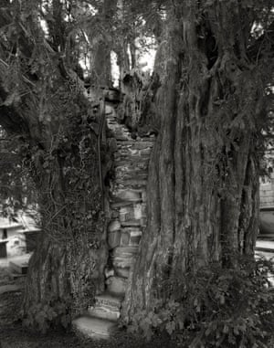 The Nantglyn Pulpit Yew, Wales. 2008.