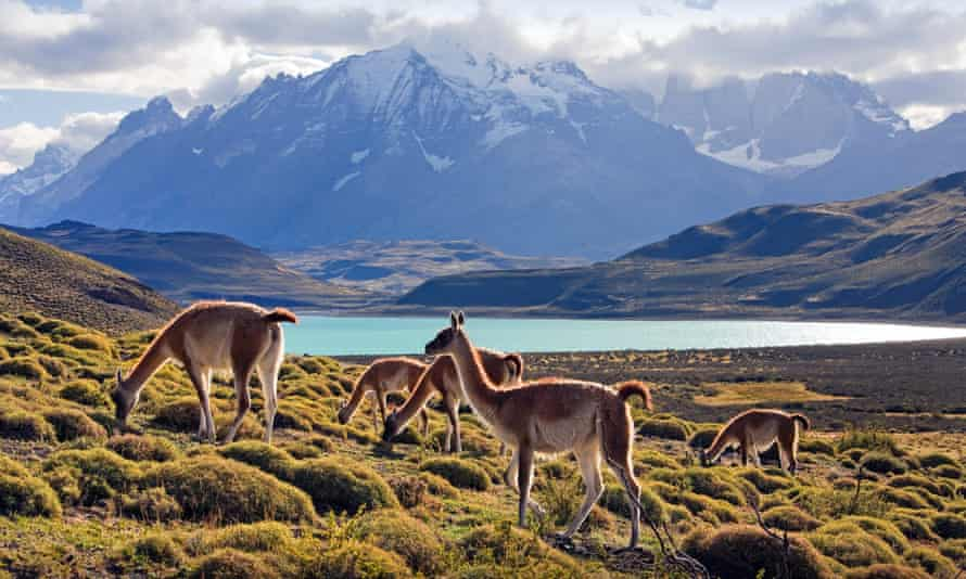 Guanacos grazing in Torres del Paine National Park, Chile.