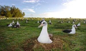 Nesting albatrosses