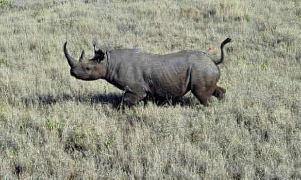 A black rhino in the Lewa conservancy in Kenya