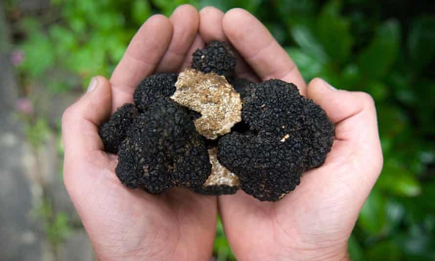 A bumper crop of summer truffles found in Plymouth.