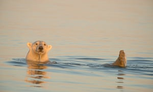 A male polar bear swims and uses his feet as rudders to move on the Beaufort Sea