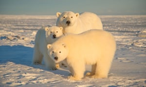 A polar bear seen with cubs at Arctic National Wildlife Refuge